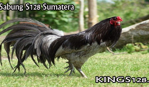 Ayam Sabung Sumatera Terkenal Di Dunia