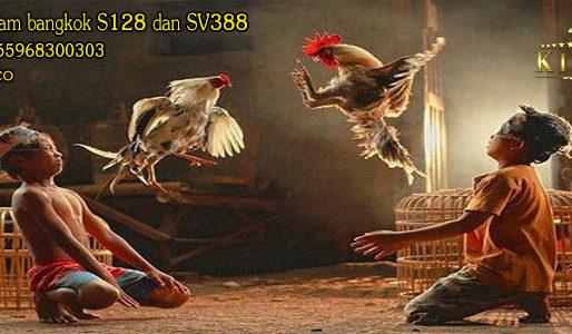 Cara Terbaik Mengobati Ayam Bangkok Setelah Bertarung