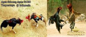 Cara Terjitu Untuk Melatih Ayam Bangkok Aduan Siap Bertarung