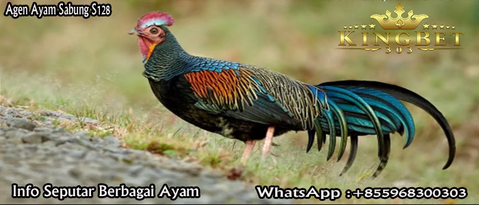 Info Seputar Ayam Bekisar Cek Disini