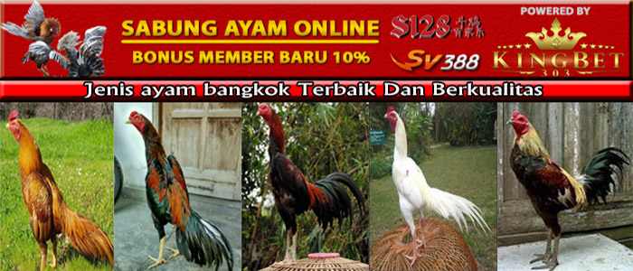 Jenis Ayam Bangkok Terbaik Dan Berkualitas