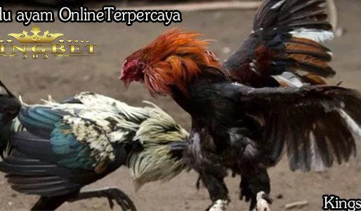 Rahasia Merawat Ayam Bangkok S128 Bagi Pemula