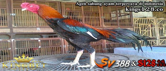 Resep Rahasia Ayam Bangkok Aduan Berkualitas Terbukti Ampuh