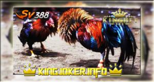 Agen Terbaik Adu Ayam Sv388 Terpercaya, Tahun Ini!