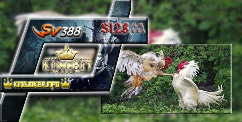 Sv388 Sabung Ayam Cara Rawat Wajib Dilakukan Untuk Ayam Juara